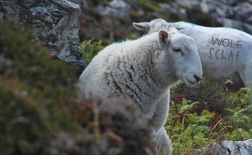 """Zwei Schafe und eine Beschriftung: Wolf durchgestrichen und mit """"Schaf"""" überschrieben"""